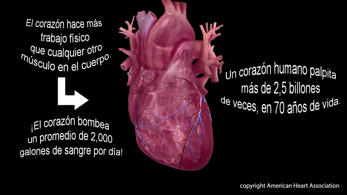 Heart facts - Spanish