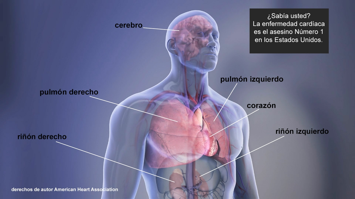 Organs in the body - Spanish