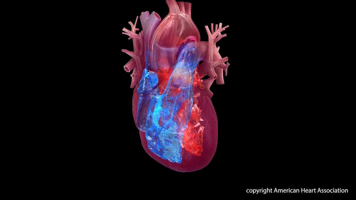 Heart chambers illustration