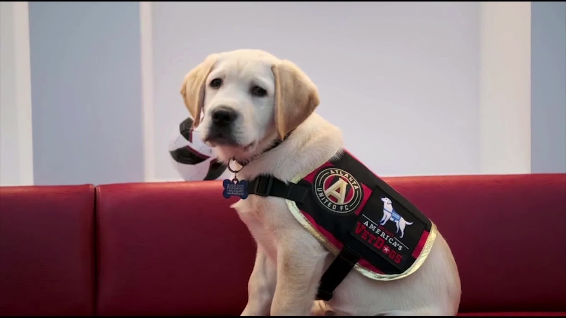 Atlanta United's latest roster addition is an utterly adorable puppy training to be a service dog