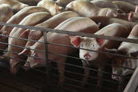 Pork markets to become a big winner in the US-China trade truce