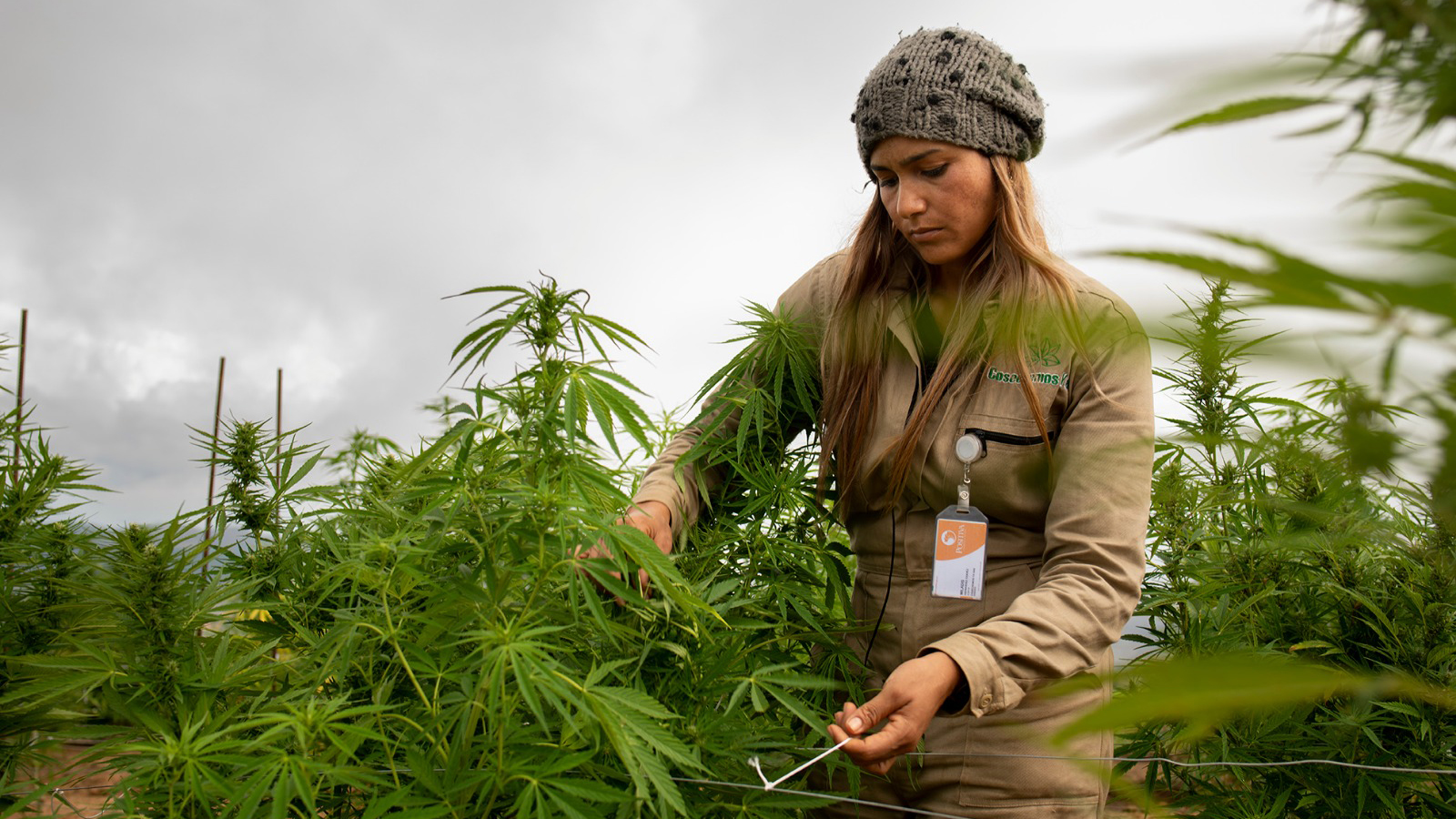 Cannabis company growing weed in Colombia goes public in US