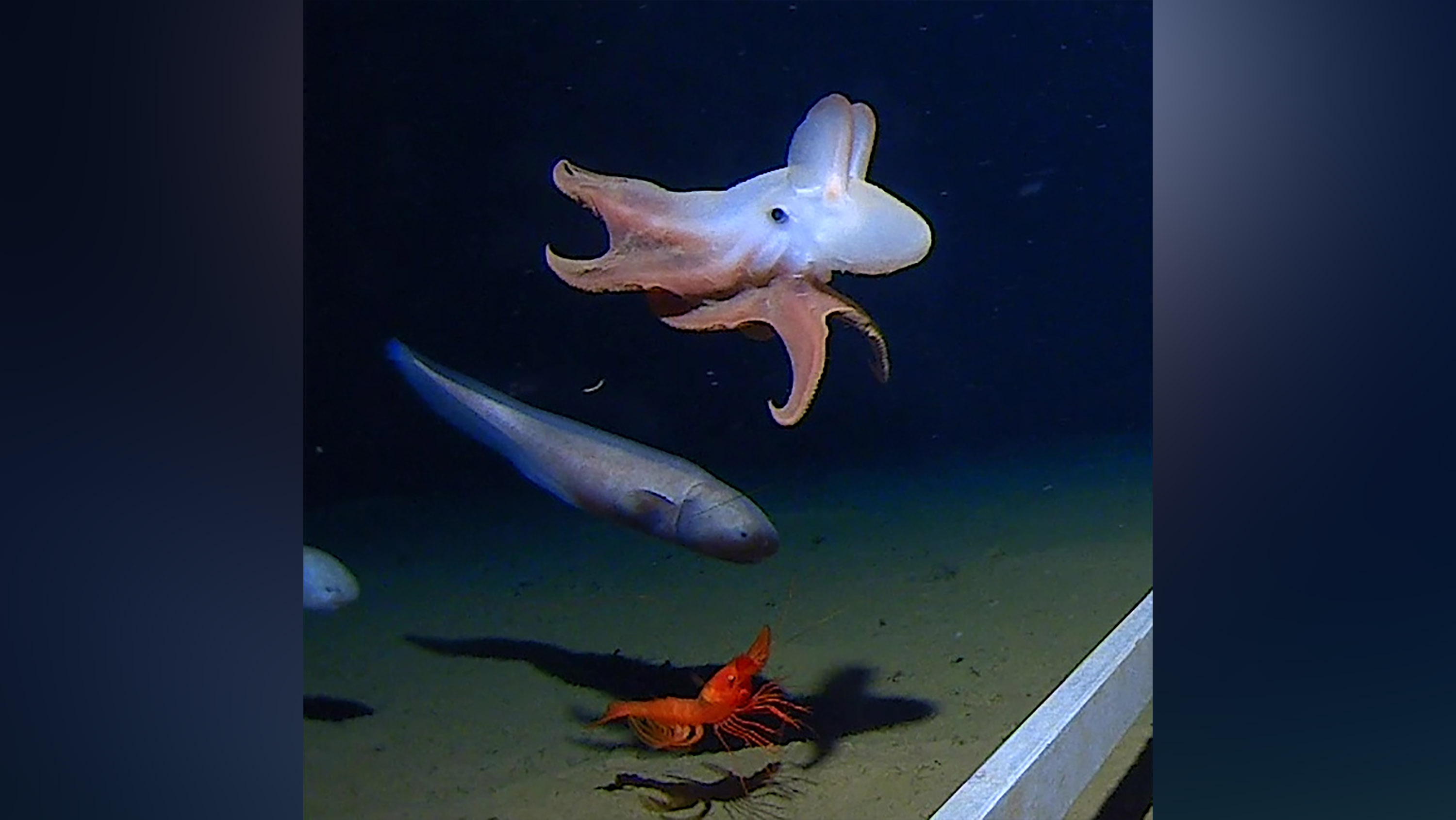 World's deepest octopus, complete with Dumbo ears, captured on film 4 miles below the surface