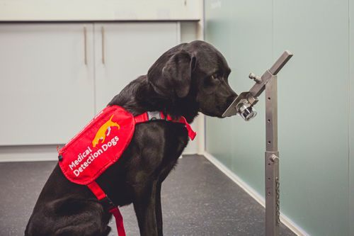 Image for Early research suggests dogs might be able to sniff out Covid-19 infections