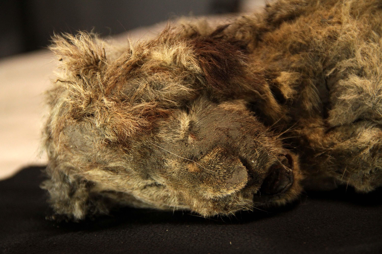 28,000-year-old lion cub looks like it's just sleeping