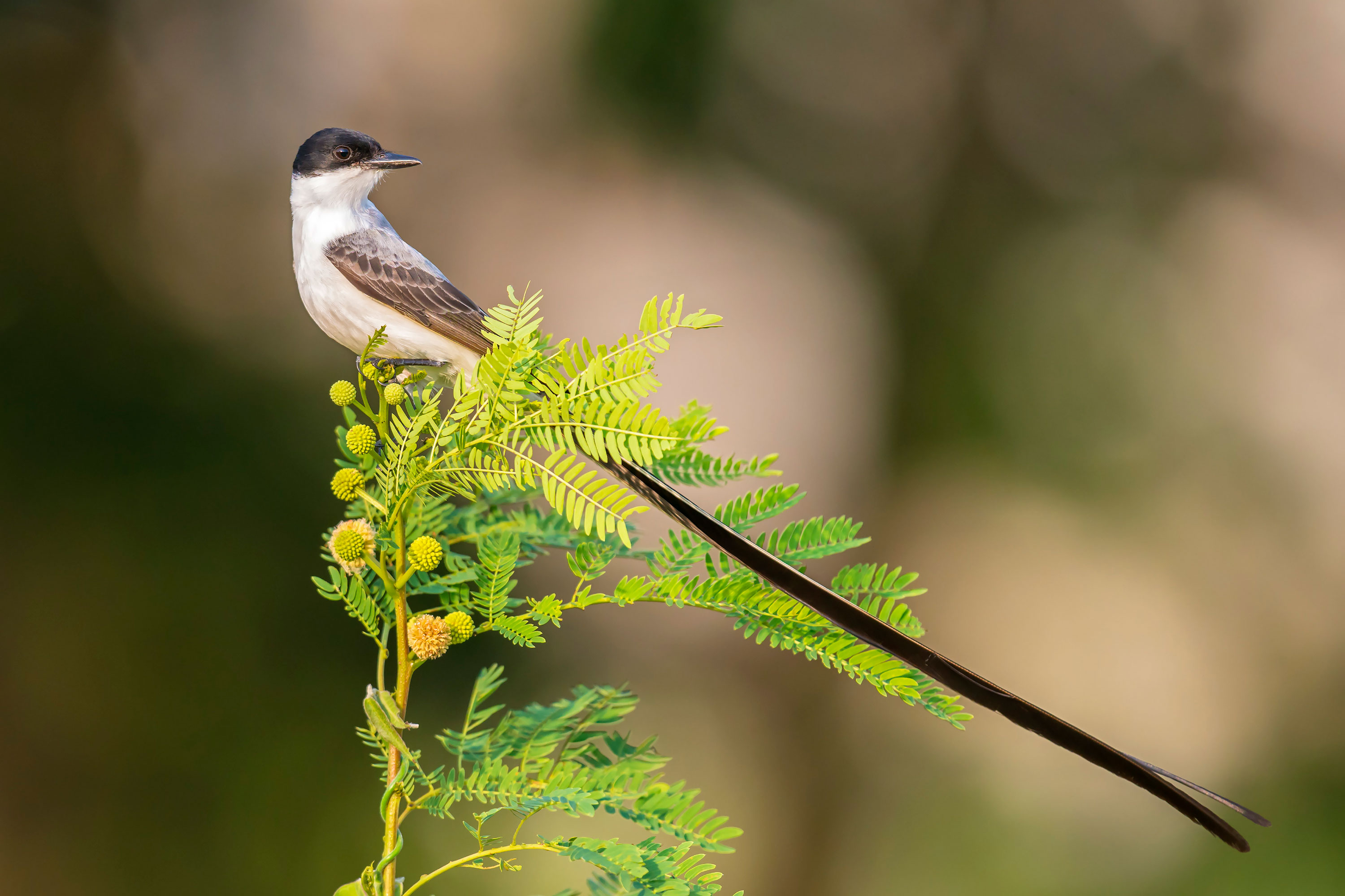 This bird tells rivals like it is by using its feathers to make a chirping noise