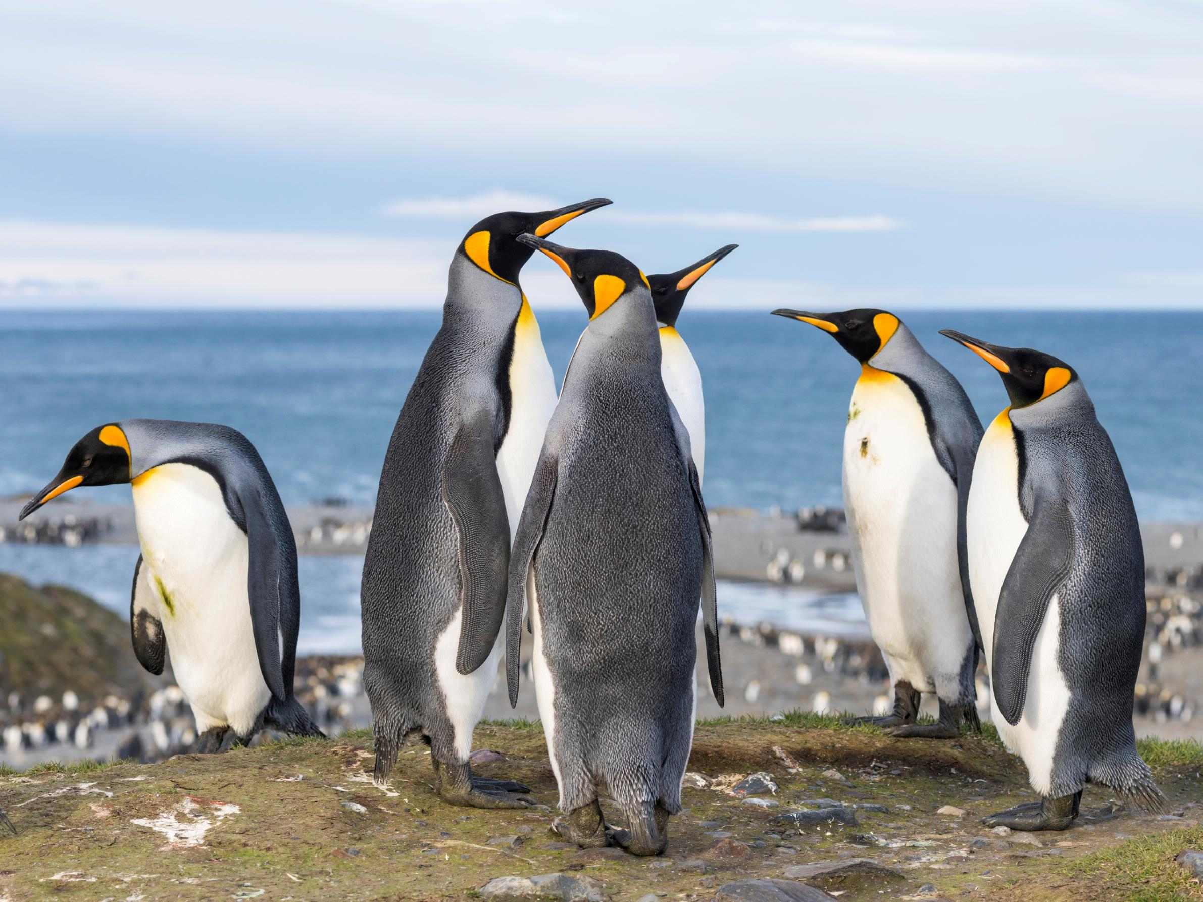 Antarctic penguins release an extreme amount of laughing gas in their feces, it turns out