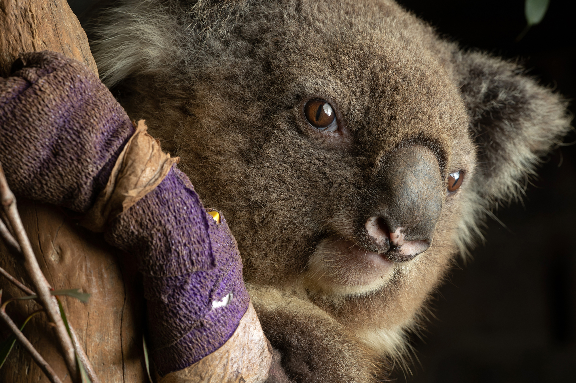 Koala populations are in decline due to increased human impacts on nature