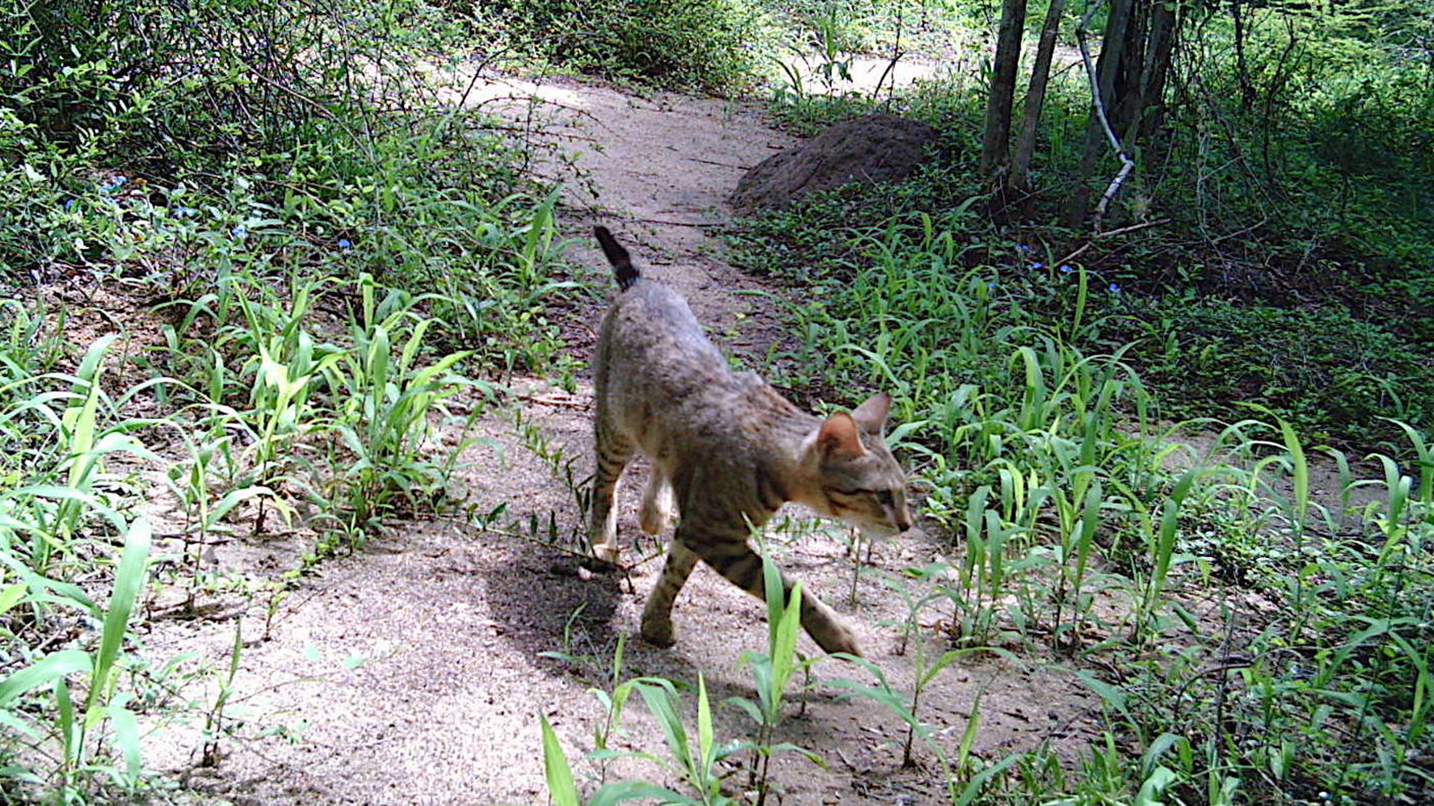 The mystery of Madagascar's forest cats