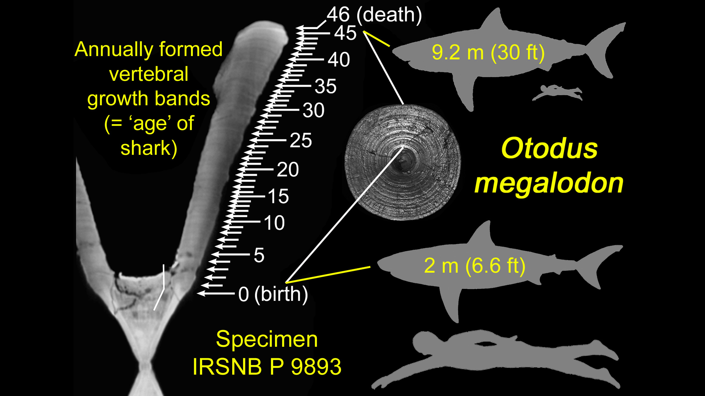 6-foot megalodon shark babies were cannibals in the womb, study says