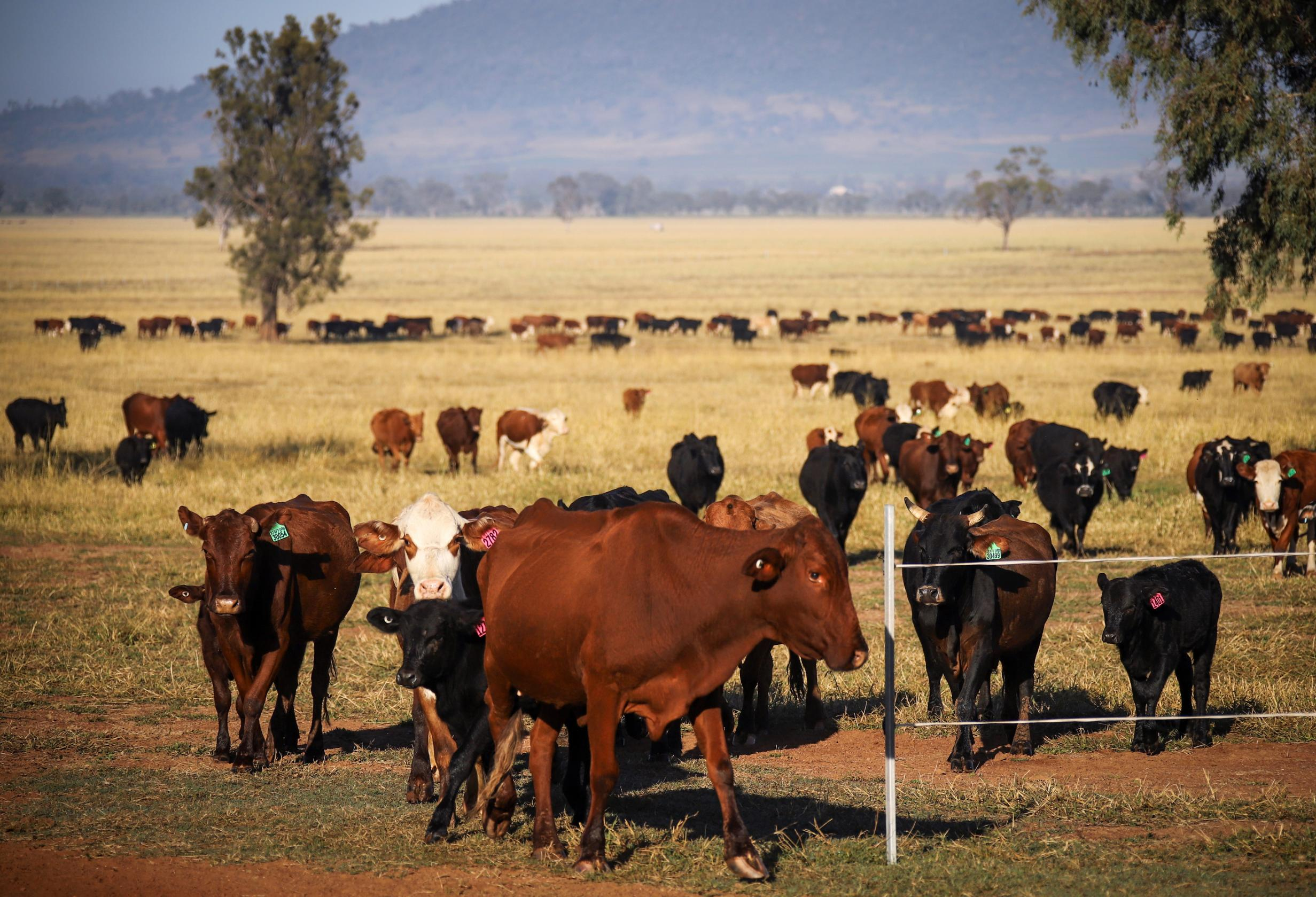 The world's methane emissions are at a record high, and burping cows are driving the rise
