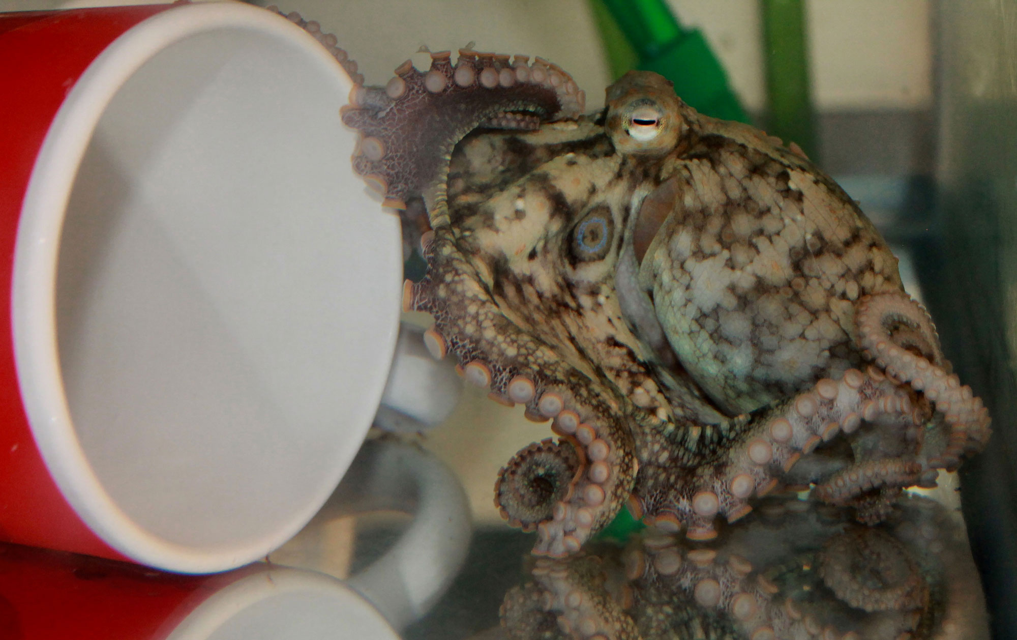 How octopuses taste their meals by touching them, according to a new study