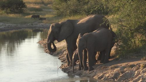 Image for Suspected poacher trampled to death by elephants in South Africa