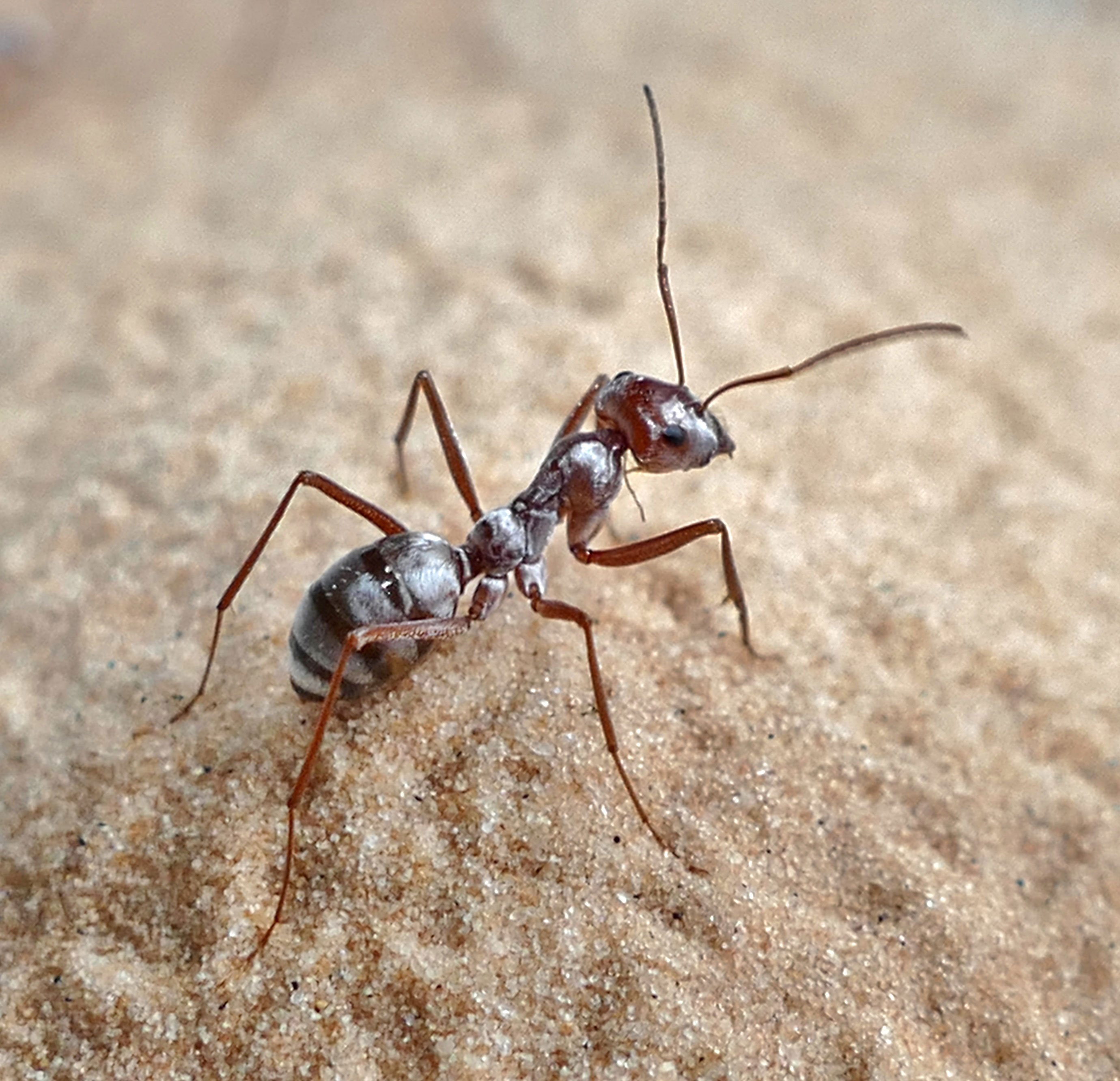 The ant that moves at 108 times its body length each second