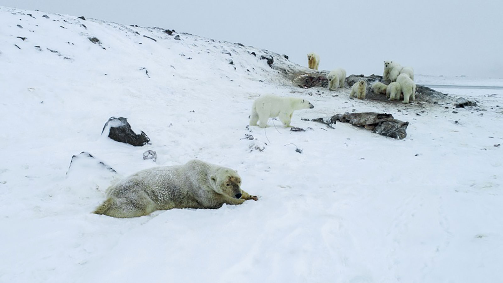 Dozens of polar bears are 'crowding' a Russian village in search of food