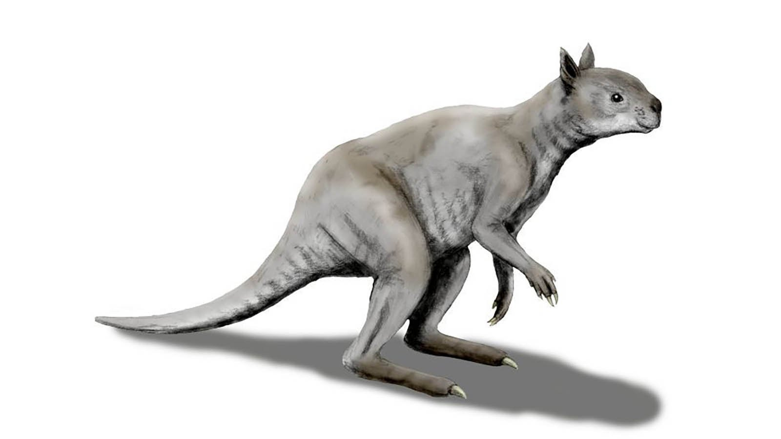 Ancient kangaroo had a koala-like face and jaws of steel