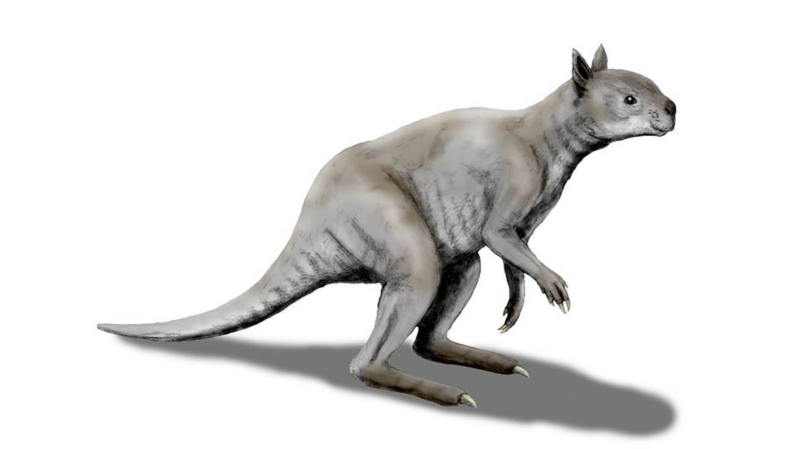 Ancient kangaroo had a koala-like face and jaws of steel