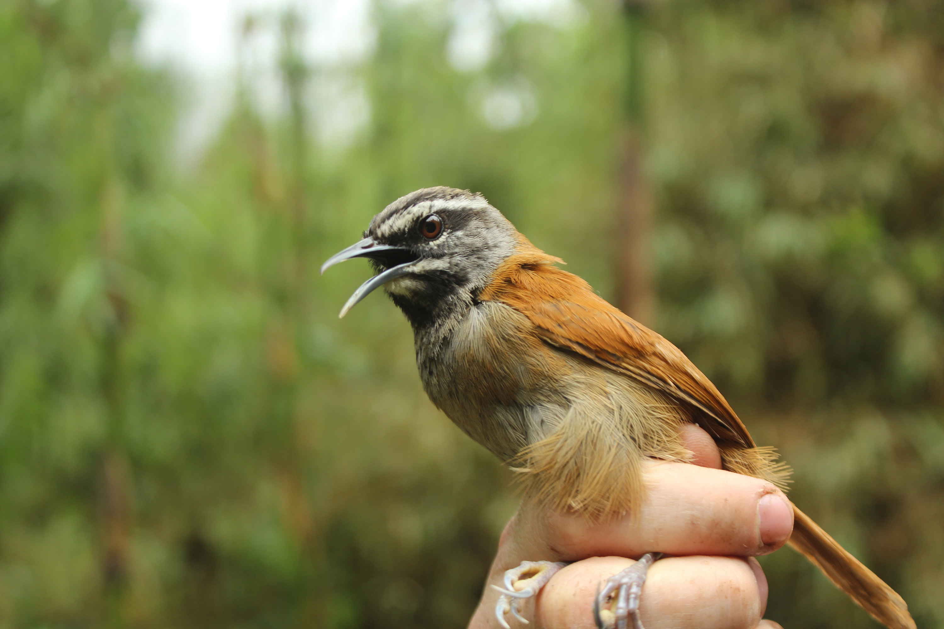 Songbirds act as one when they sing together, new study suggests