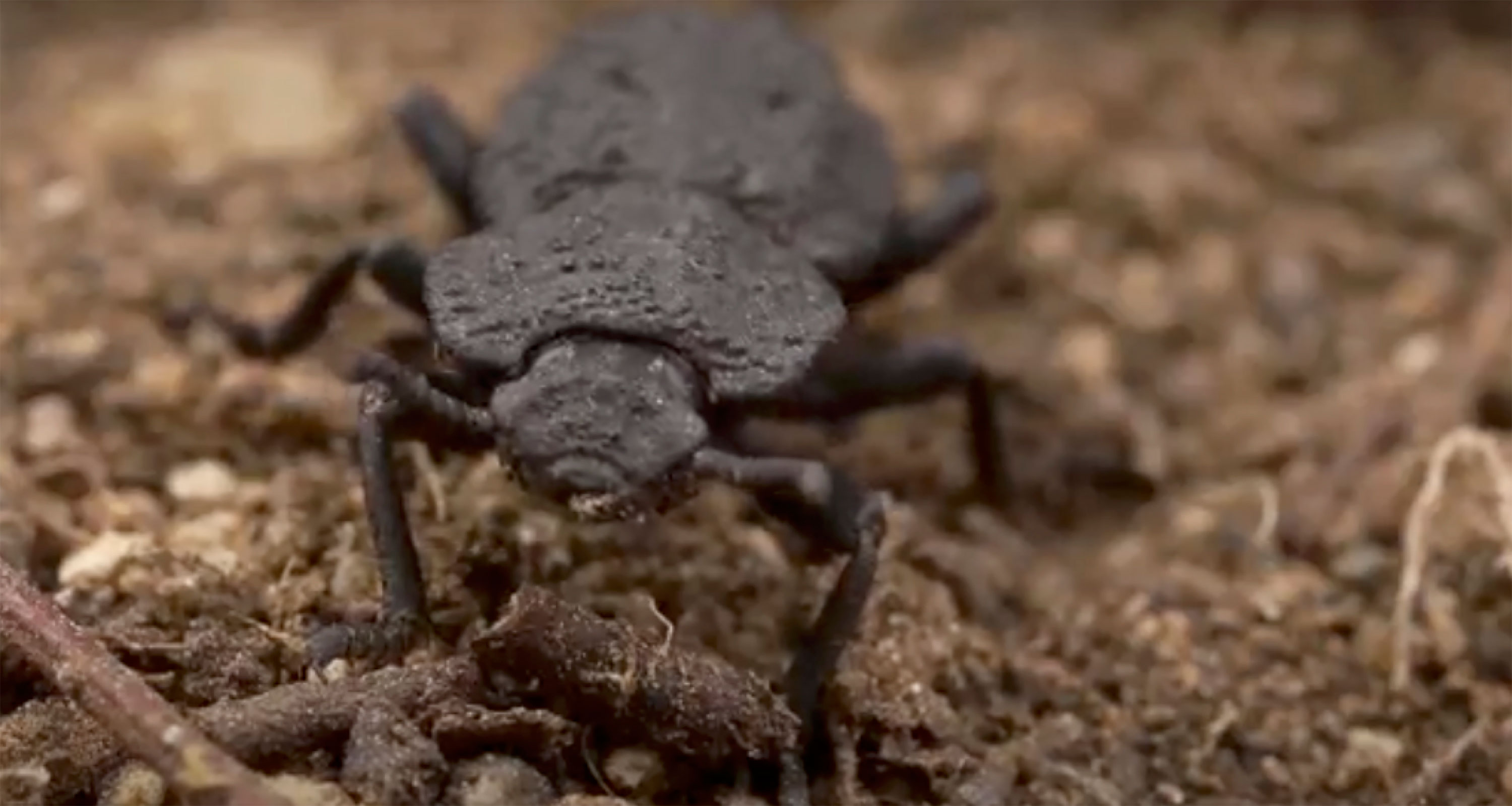 This super-beetle can survive being run over by a car — and help with engineering problems