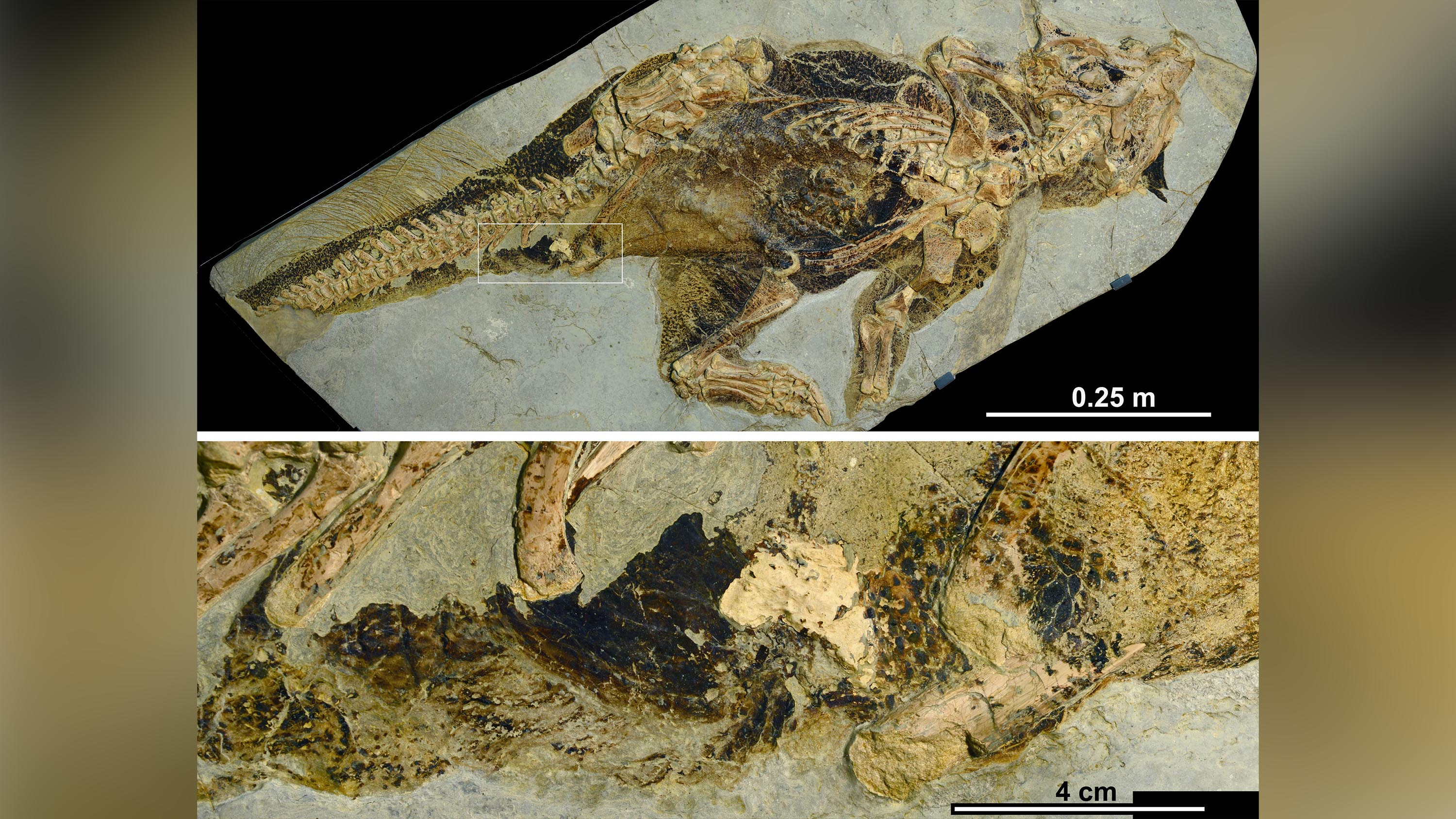 This fossil reveals how dinosaurs peed, pooped and had sex