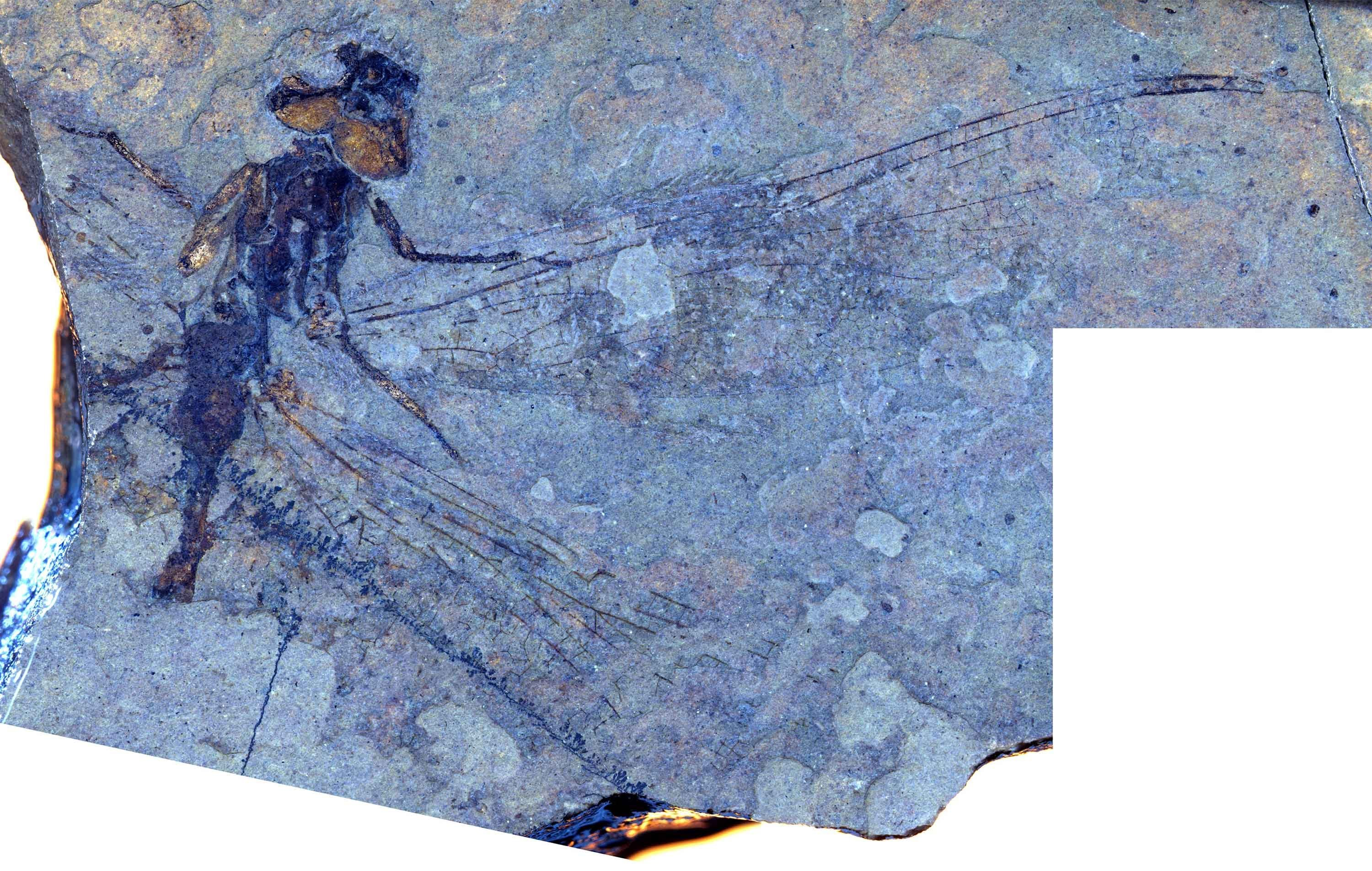 Rare dragonfly fossils could teach us about climate change