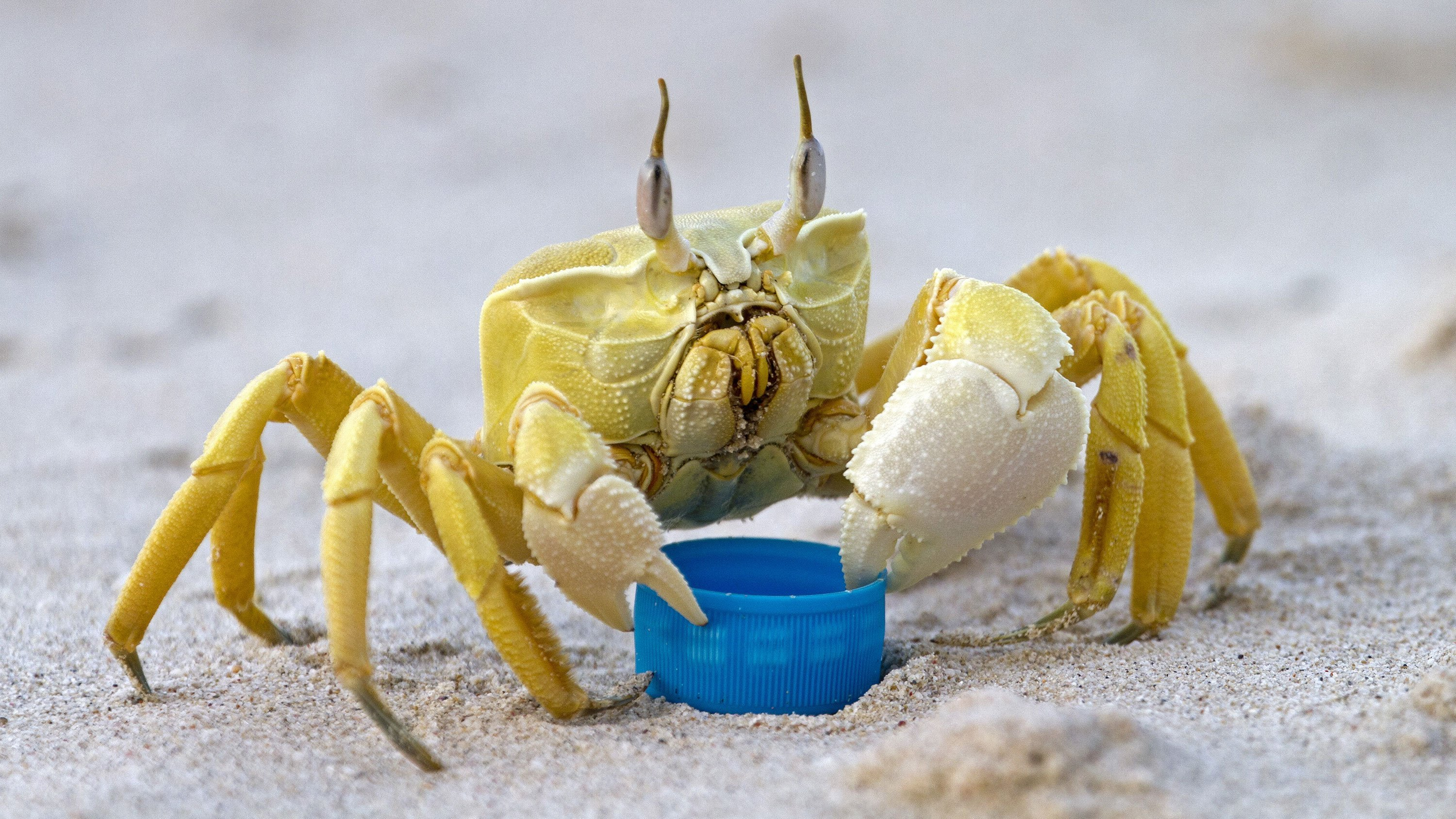 Ghost crabs 'growl' from their stomachs, scientists find
