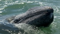 Why solar storms from space may blind and strand whales
