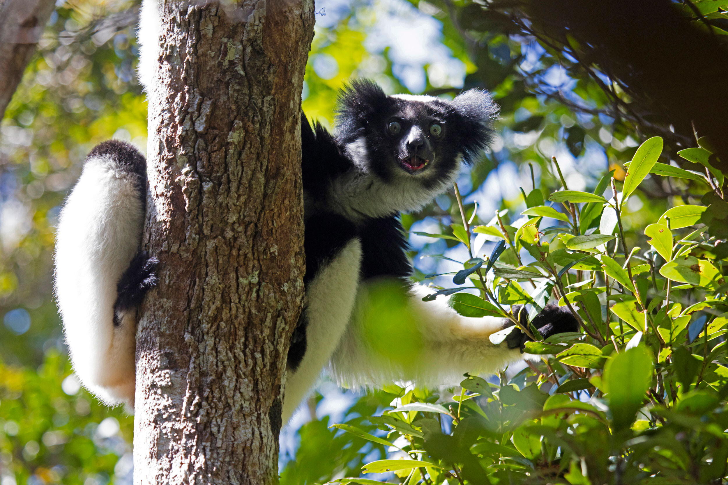These lemurs could win a Grammy for their rhythmic singing abilities