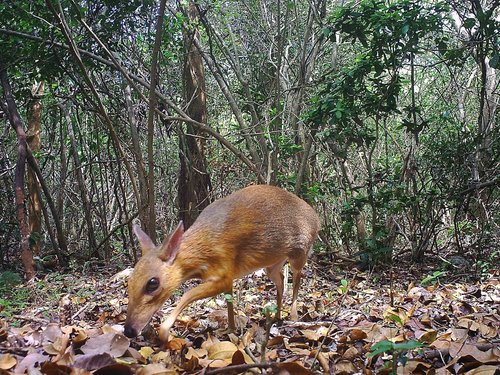Image for Tiny deer-like animal thought lost to science photographed for first time in 30 years