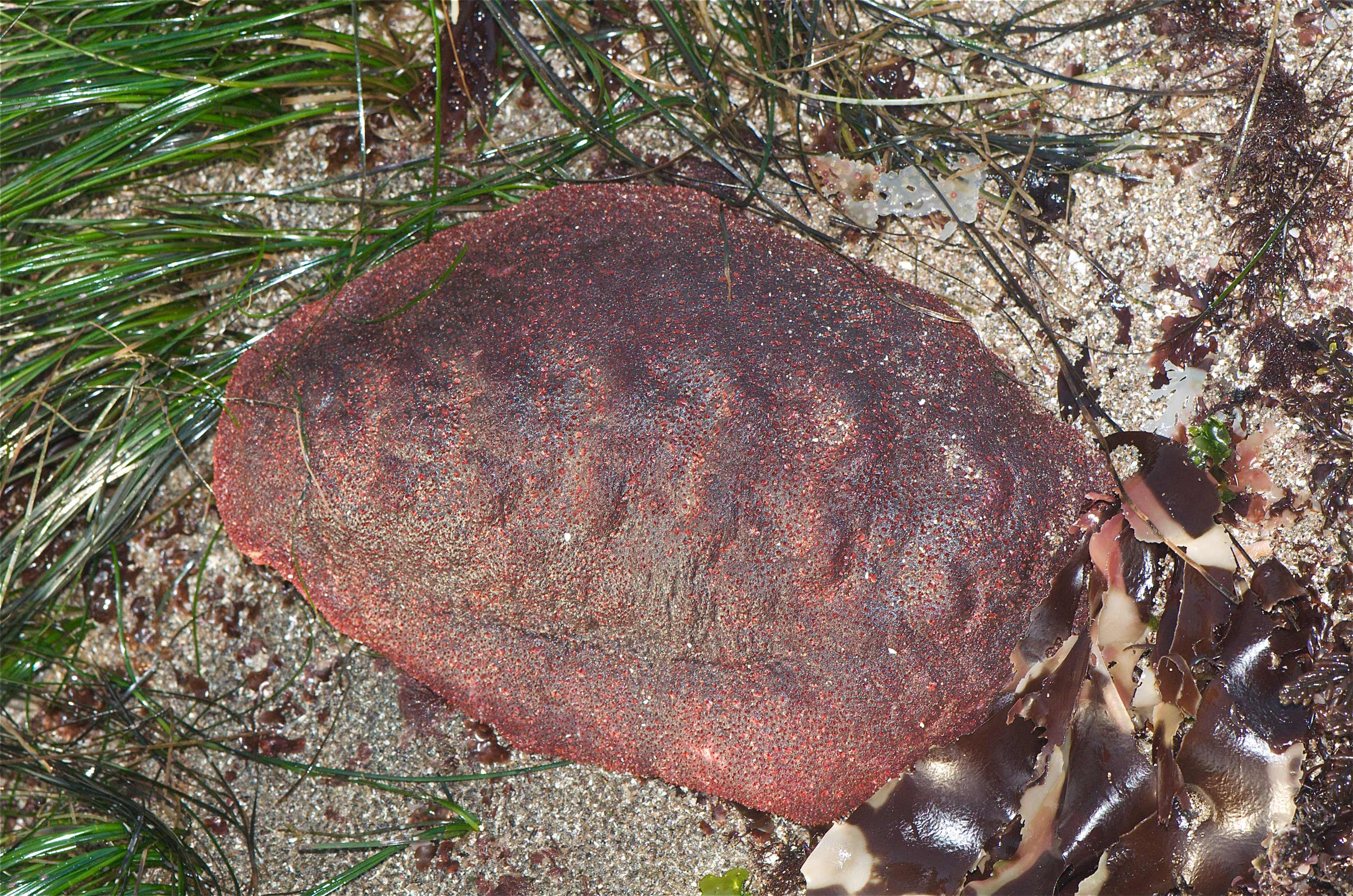 This 'wandering meatloaf' chiton has a rare mineral in its teeth