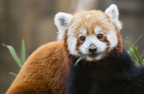 Image for Turns out there are actually two species of red panda, not just one