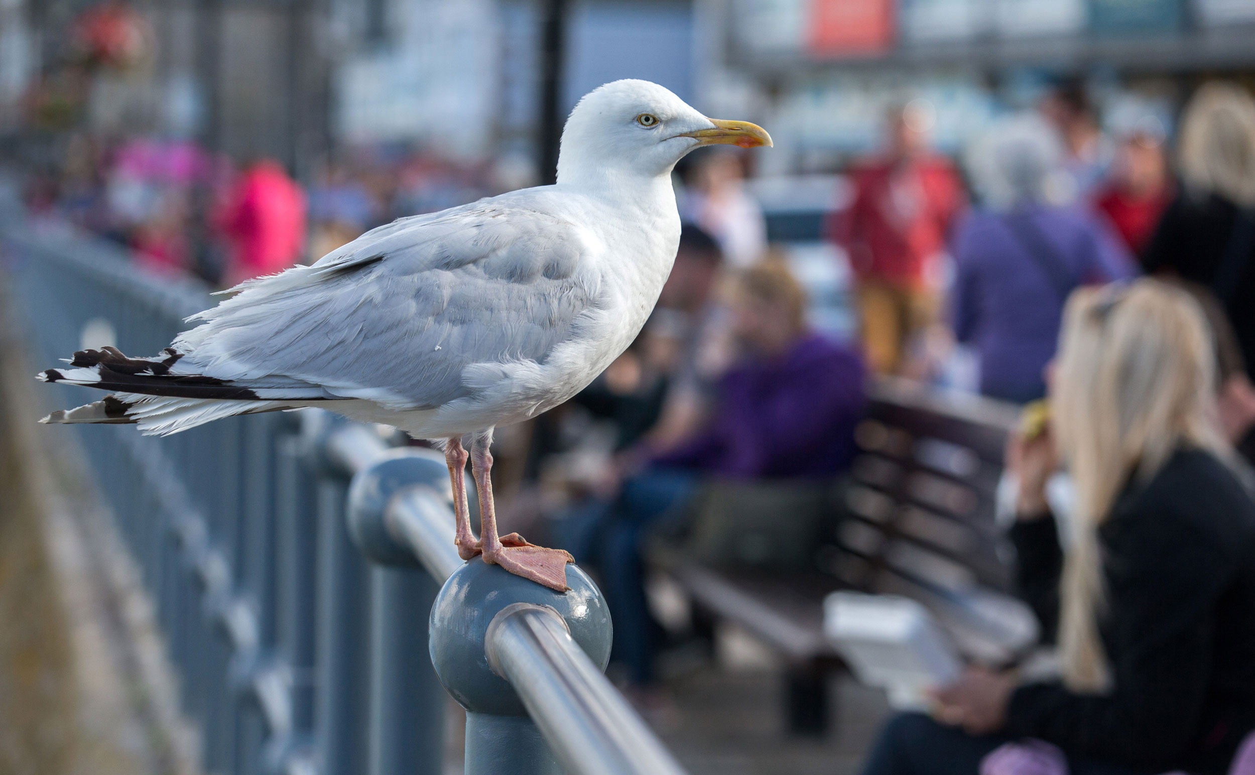 Seagulls are more likely to go after food humans have touched
