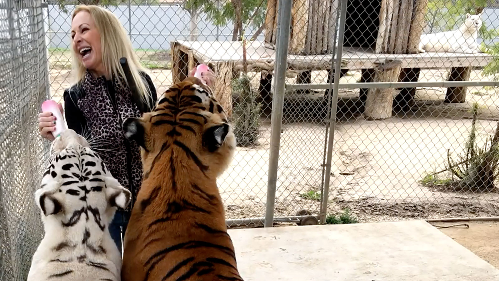 A wildlife conservationist who was mauled by her own tigers insists they were just playing with her