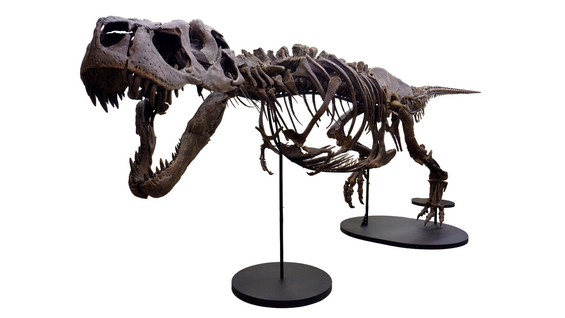 Meet Victoria, one of the most complete T. rex fossils in the world