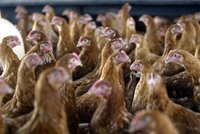 Chicken processing company Tip Top Poultry recalls its meat from stores over Listeria fears