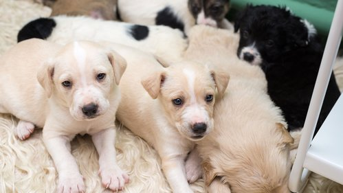 Image for Puppies may be making people sick, CDC says