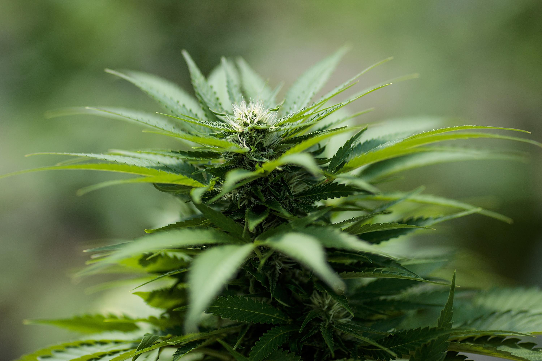 Cannabis stocks are soaring again