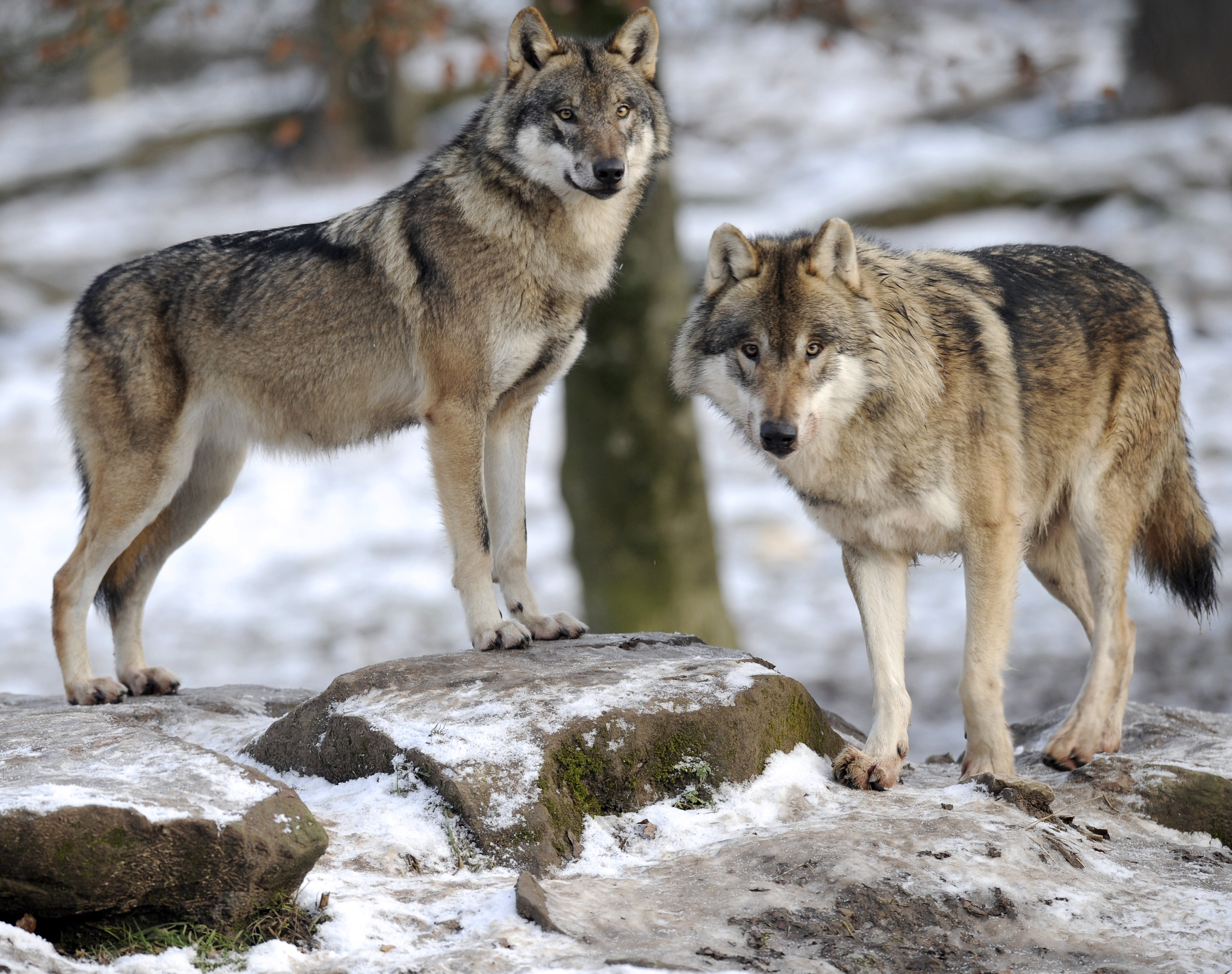 Trump administration removes gray wolf from endangered species list