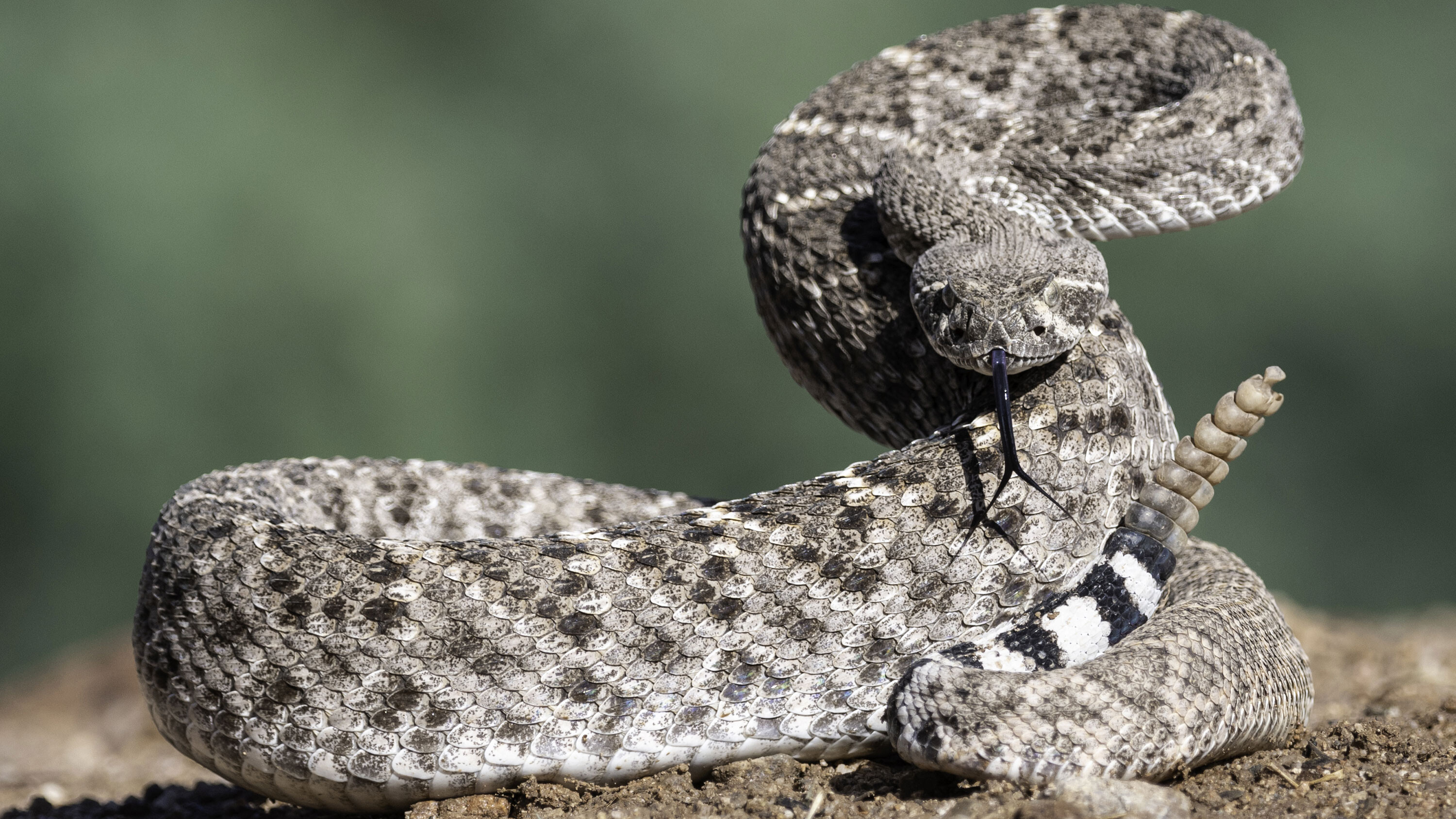 Rattlesnakes change their rattle frequency based on nearby threats, a study finds