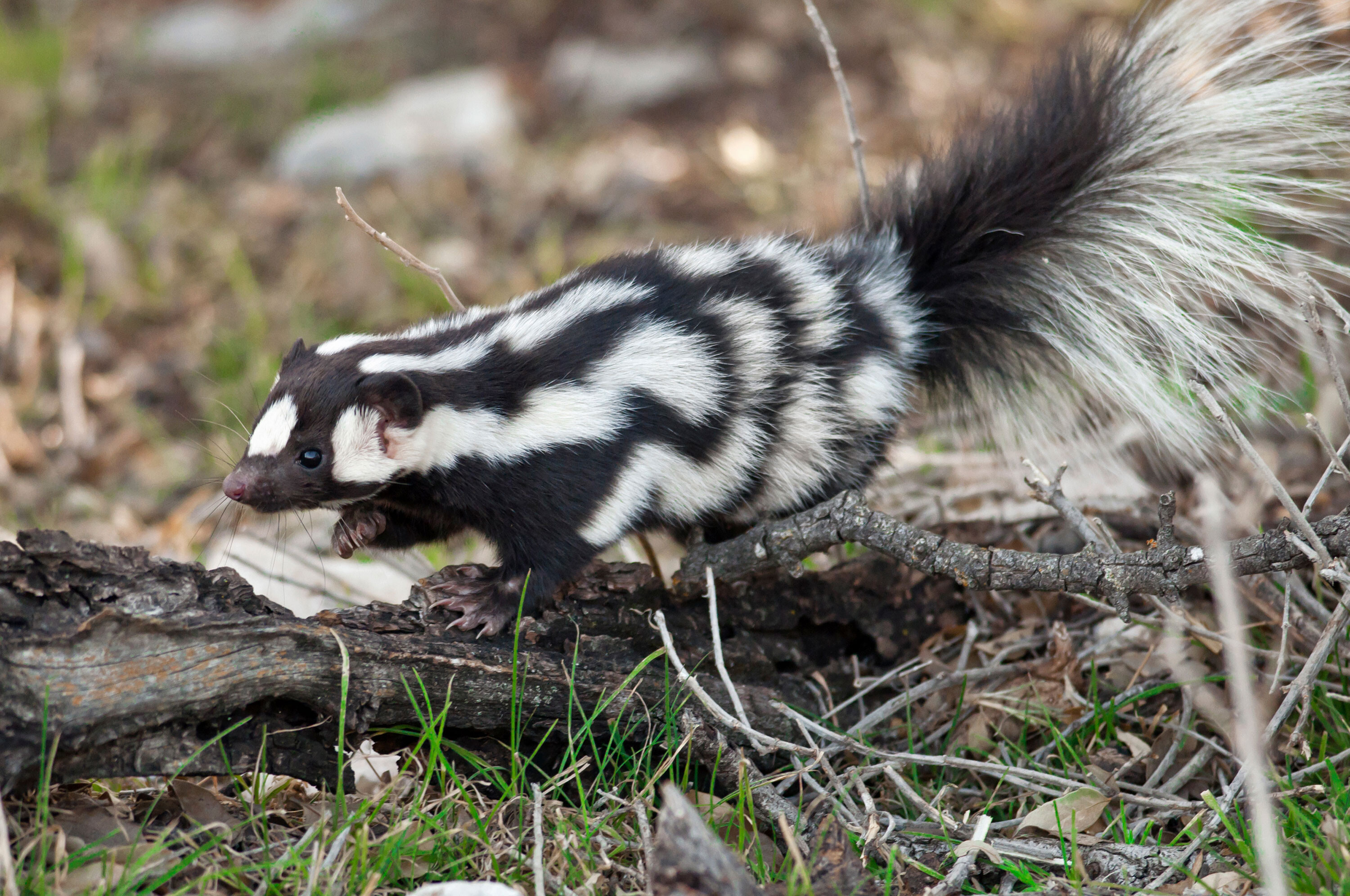 Say hello to handstanding spotted skunks, 'the acrobats of the skunk world'