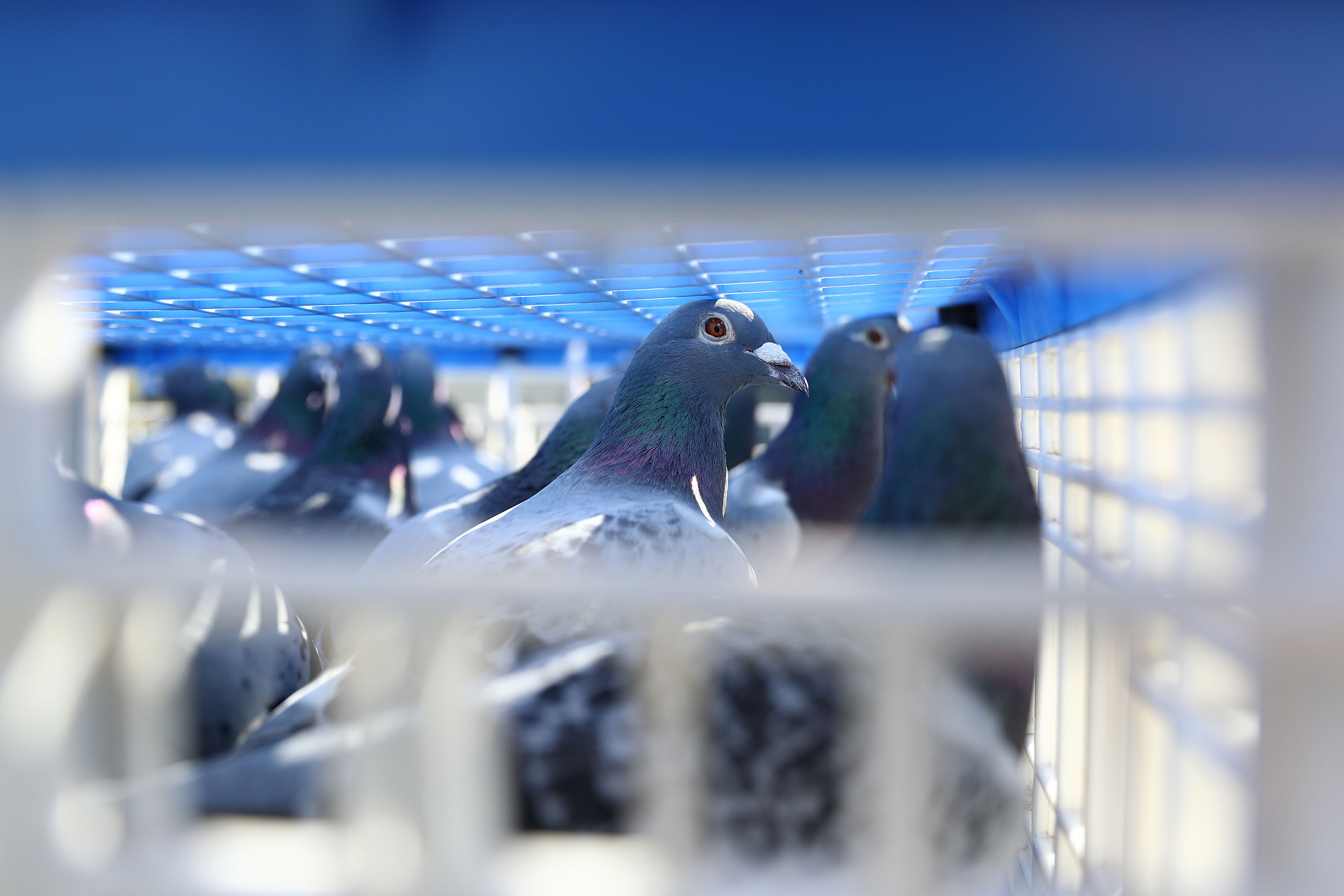 'Possible poisoning' as 11 birds found dead ahead of major pigeon race