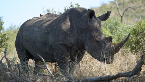 Image for Why white rhino numbers increased 34,000%
