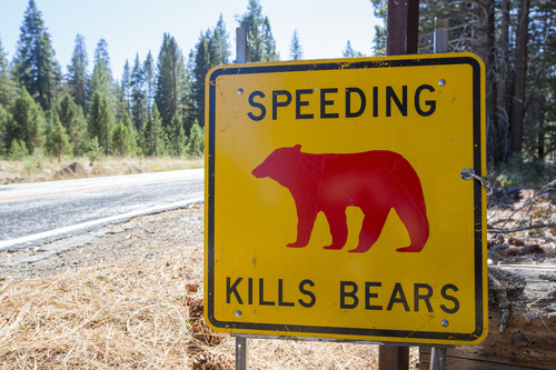Image for Yosemite officials warn against speeding after two bears are hit and killed on the road