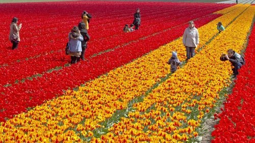 Image for Dutch tulip growers beg selfie-taking millennials to stop trampling their flowers