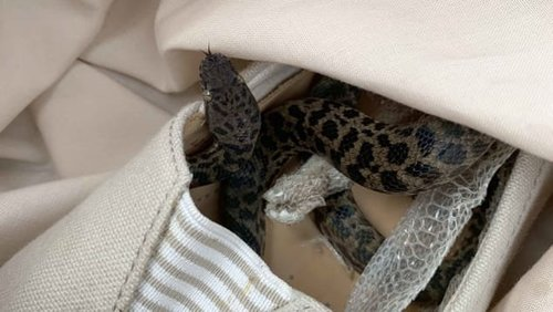 Snake travels inside a shoe over 15000km from Australia to Glasgow
