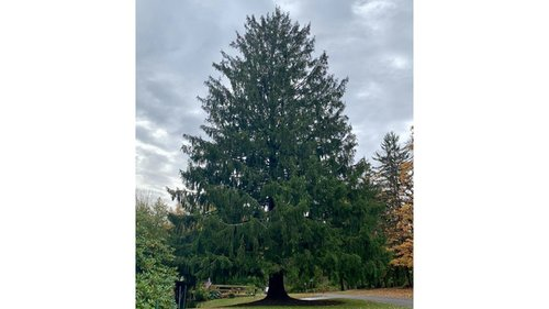 Image for The famous Rockefeller Center Christmas Tree has been chosen
