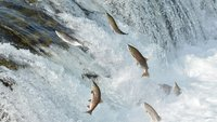 The water is so hot in Alaska it's killing large numbers of salmon