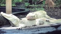 19 albino alligator eggs may hatch this summer at an animal park in Florida
