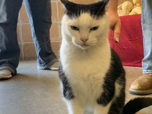 Image for An animal shelter's adoption ad for a sassy cat: 'She's just a jerk'