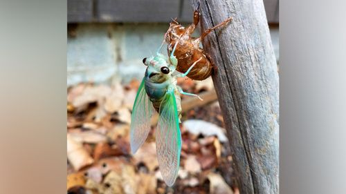 An annual cicada emerges from its brown exoskeleton.